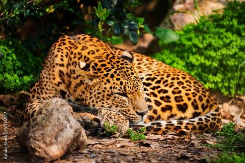 Poster Leopard Gorgeous leopardess in natural habitat