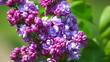 branch of a lilac lilac waves on a wind