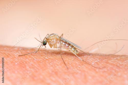 Mosquito sucking blood_set D-1 Wallpaper Mural