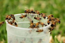 Picture Of African Honey Bees On Glass