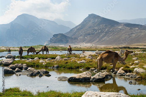 Fotobehang Midden Oosten Camels on the beach, Oman, Middle East