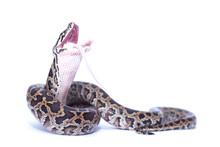 Isolated Burmese Python (molurus Bivittatus) Eats Rat