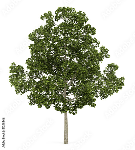 acer platanoides tree isolated on white background Wallpaper Mural