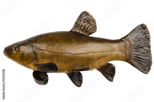 Obraz na plátne Fish tench