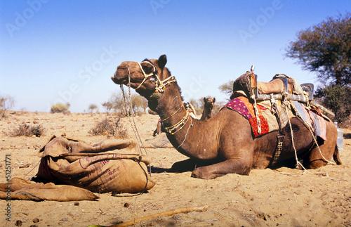 Fotografie, Obraz  Desert Camel