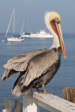 Vertical Of A Pelican Rests On A Fence By The Sea