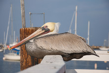Horizontal Of A Pelican Rests Along A Fence On A Pier