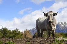Curiosidad De La Vaca