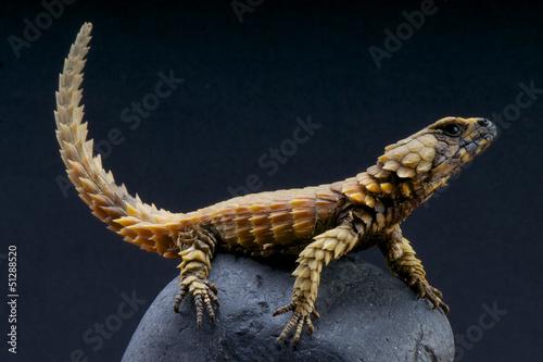 Photo Armadillo lizard / Cordylus cataphractus