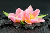 Fototapeta Kwiaty - Tulipany na kamieniach do spa