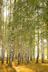 FototapetaSummer birches grove in a fog