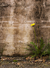 Nature Triumphs Over Adversity - Dandelion By Old Wall,  Taraxac