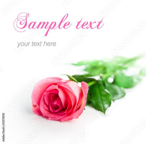 Obraz na plátně single rose isolated, selective focus