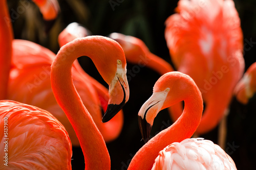 Garden Poster Flamingo Kuba-Flamingo (Phoenicopterus ruber)