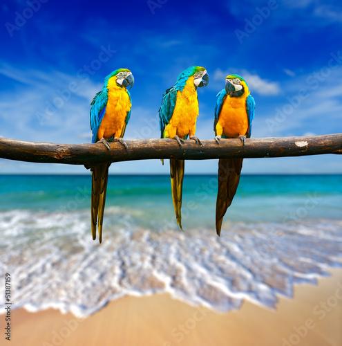 trzy-papugi-niebiesko-zolta-ara-ara-ararauna-rowniez-znany