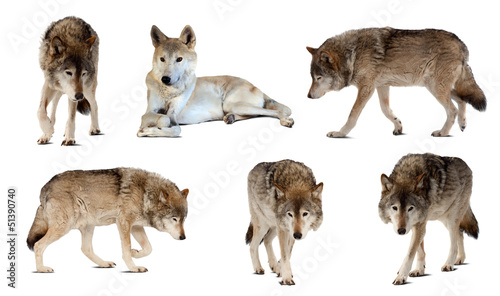 Poster de jardin Loup Set of few wolves over white with shade
