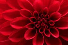 Close Up Of Red Dahlia Flower