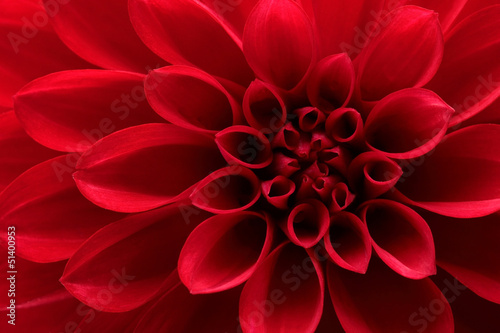 Stampa su Tela Close up of red dahlia flower