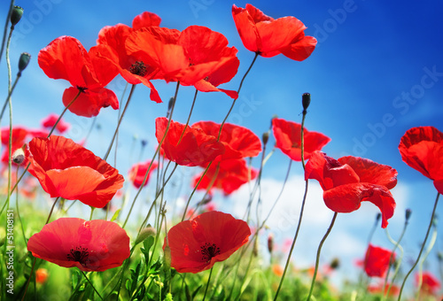 Poster de jardin Rouge traffic Poppy flowers on field and sunny day