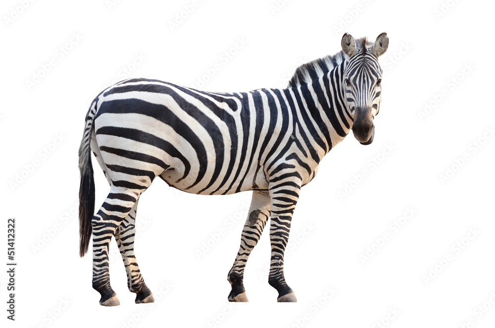 Fototapety, obrazy: zebra isolated