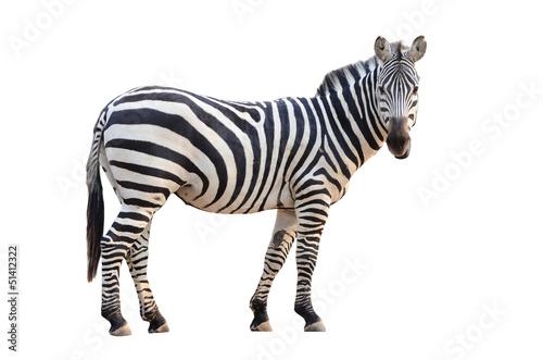 Foto op Aluminium Zebra zebra isolated