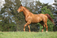 Shining Chestnut Horse On Horizon In Front Of Some Trees