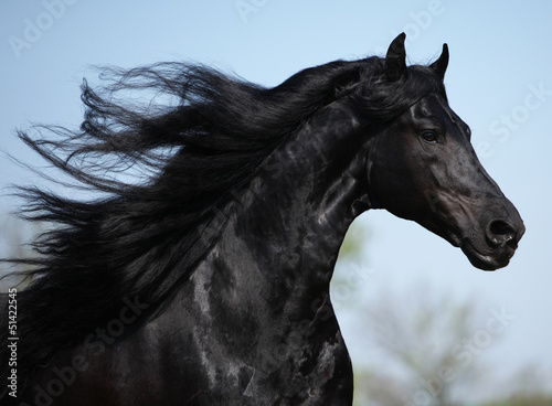 Gorgeous friesian stallion with long mane running on pasturage Wallpaper Mural
