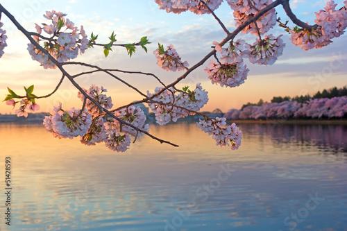 Keuken foto achterwand Kersenbloesem Cherry trees in blossom around Tidal Basin, Washington DC