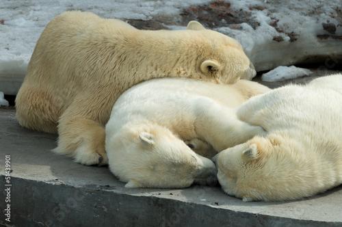 Poster Polar bear Polar bears family sleeping