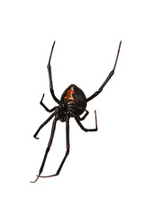 Spider, Red-back underside, characteristic red bottle shaped mar