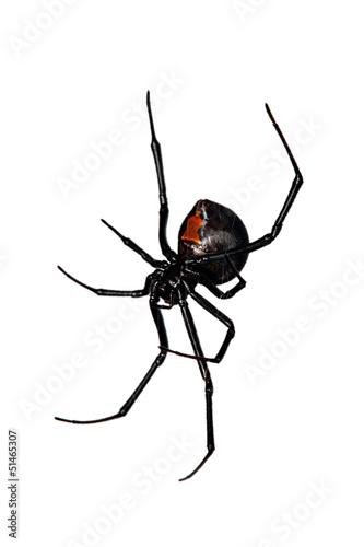 Spider, Red-back underside