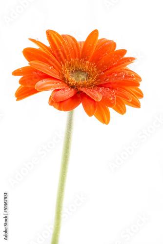 Foto op Aluminium Gerbera Gerber Flower. Orange gerbera flower close up photo.