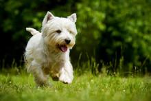 West Highland White Terrier In Bewegung