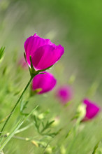 Winecup Wildflowers (Callirhoe...