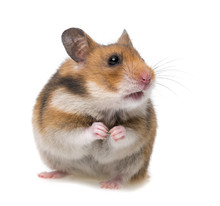 Sitting Hamster Isolated On A ...