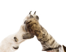 Cat And Dog Making Hi-five Ges...