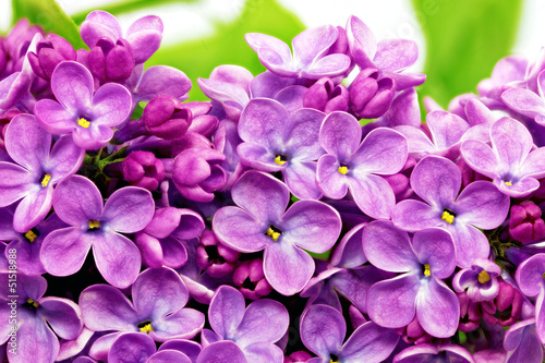 Spoed Foto op Canvas Macro Beautiful Bunch of Lilac close-up