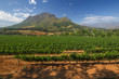 canvas print picture - Vineyard in stellenbosch, South Africa
