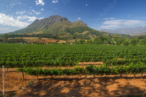 Foto op Plexiglas Zuid Afrika Vineyard in stellenbosch, South Africa