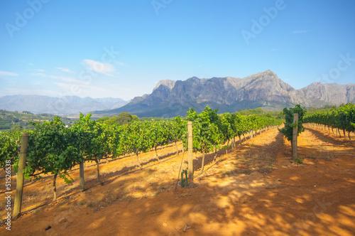 Foto op Plexiglas Zuid Afrika Vineyard in stellenbosch, South Africa