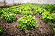Gesunder Salat im Gewächshaus