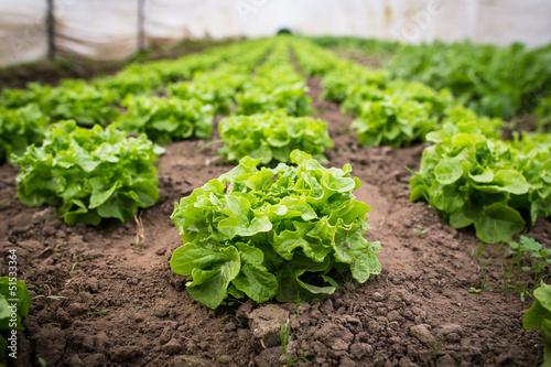 Obraz Gesunder Salat im Gewächshaus - fototapety do salonu