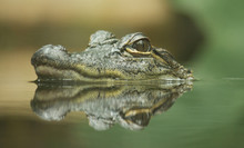 Baby Crocodile With Reflection