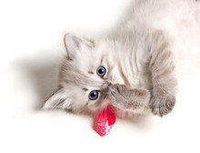 Closeup Portrait Of A Beautiful Kitten