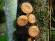 Becherlingsverwandte Pilz (Pezizaceae) im Regenwald Amazonas