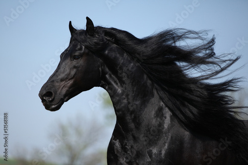 Gorgeous friesian stallion with flying long hair Canvas Print