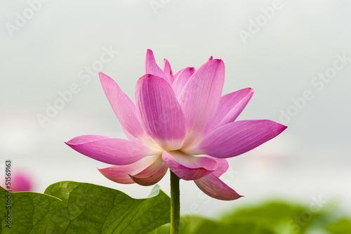 Garden Poster Lotus flower Blooming lotus