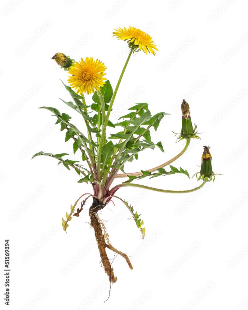 Fototapety, obrazy: Löwenzahn (Taraxacum officinale) - Ganze Pflanze auf weißem Hi