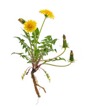 Löwenzahn (Taraxacum Officina...