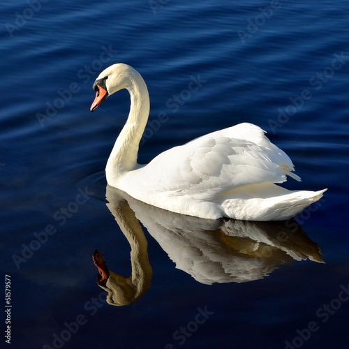 white swan in blue water